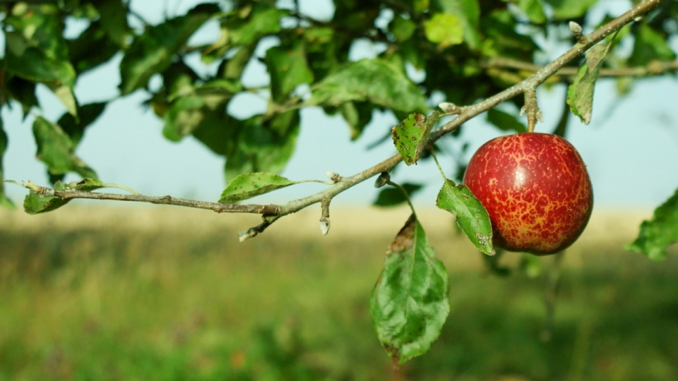 Ovocný sad - jablko
